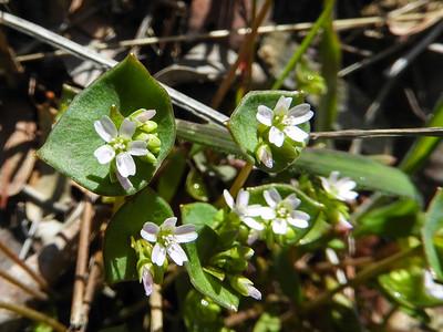 Small-flowered Miner's Lettuce (Claytonia parviflora ssp. parviflora) MONTIACEAE
