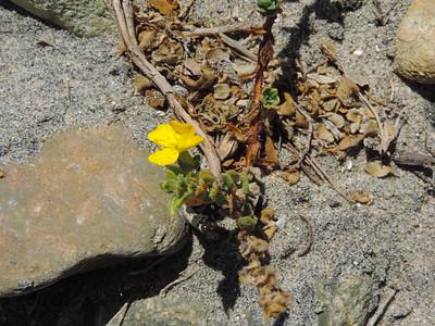 Beach Suncup (Camissoniopsis cheiranthifolia) ONAGRACEAE