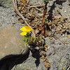 Beach Suncup (Camissoniopsis cheiranthifolia)