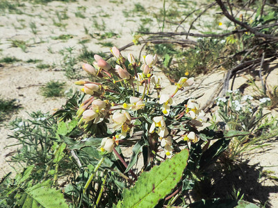 Booth's Evening-primrose (Eremothera boothii) ONAGRACEAE