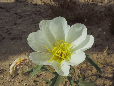California Evening-primrose (Oenothera californica ssp. avita) ONAGRACEAE