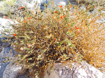 California Fuchsia (Epilobium canum) ONAGRACEAE