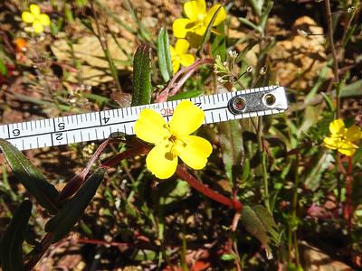California Sun Cup (Camissoniopsis bistorta) ONAGRACEAE