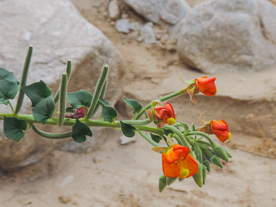 Heart-leaved Suncup (Chylismia cardiophylla ssp. cardiophylla) ONAGRACEAE