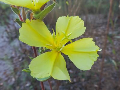 Marsh Evening Primrose (Oenothera elata) ONAGRACEAE