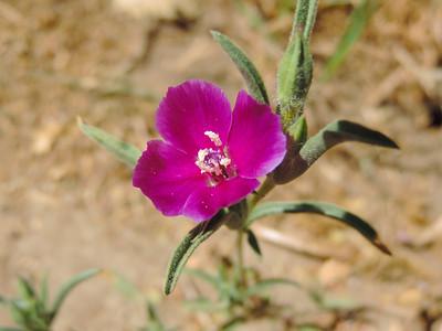 Winecup Clarkia (Clarkia purpurea)