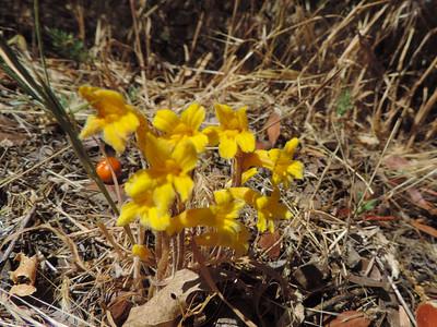 Clustered Broomrape (Orobanche fasciculata)