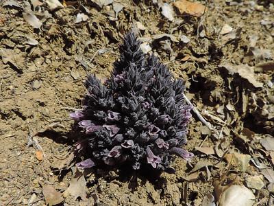 Pine Broomrape (Orobanche cooperi)