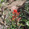 Pine Paintbrush (Castilleja applegatei ssp. martinii) OROBANCHACEAE