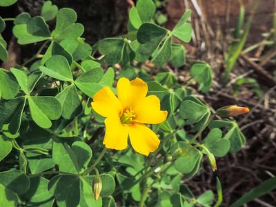California Woodsorrel (Oxalis californica) OXALIDACEAE