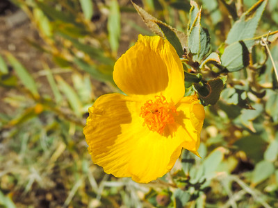 Bush Poppy  (Dendromecon rigida) PAPAVERACEAE