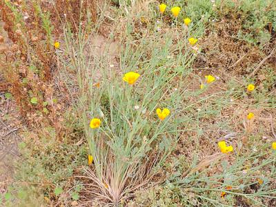 California Poppy  (Eschscholzia californica) PAPAVERACEAE