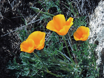 California Poppy (Eschscholzia californica) PAPAVERACEAE