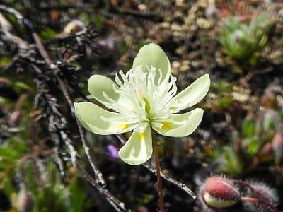 Cream Cups (Platystemon californicus) PAPAVERACEAE