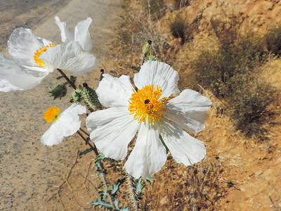 Prickly Poppy  (Argemone munita) PAPAVERACEAE