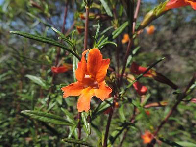 Bush Monkeyflower (Diplacus aurantiacus)