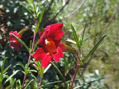 Bush Monkeyflower (Diplacus aurantiacus)