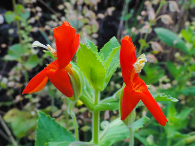 Scarlet Monkeyflower (Mimulus cardinalis) PHRYMACEAE