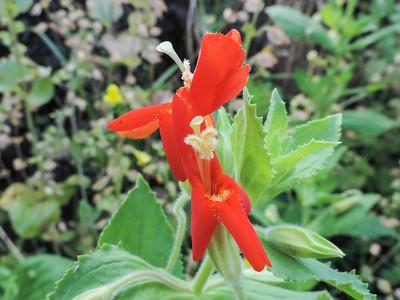 Scarlet Monkeyflower (Erythranthe cardinalis) PHRYMACEAE
