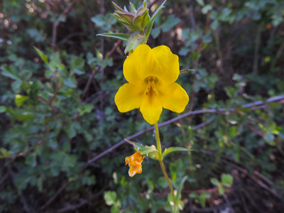 Wide-throated Yellow Monkeyflower  (Mimulus brevipes) PHRYMACEAE