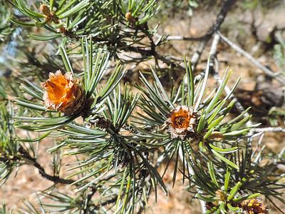 Four-needle Pinyon Pine (Pinus quadrifolia) PINACEAE
