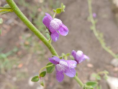 Nuttall's Snapdragon (Antirrhinum nuttallianum) PLANTAGINACEAE