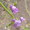 Nuttall's Snapdragon (Antirrhinum nuttallianum)