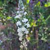 Coulter's Snapdragon (Antirrhinum coulterianum)