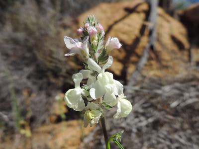 White Snapdragon (Antirrhinum coulterianum) PLANTAGINACEAE