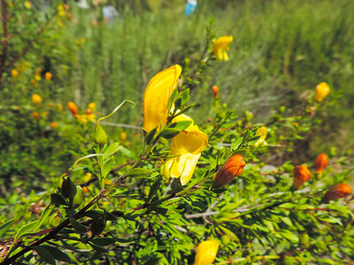 Yellow Bush Penstemon (Keckiella antirrhinoides) PLANTAGINACEAE