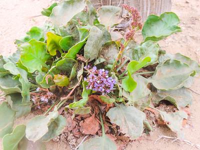 Canary Island Sea Lavender  (Limonium perezii) PLUMBAGINACEAE