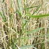 Big Galleta Grass (Hilaria rigida) POACEAE