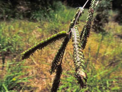 Dallis Grass (Paspalum dilatatum) POACEAE