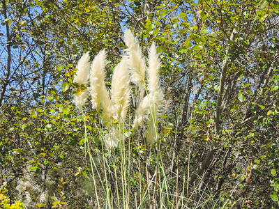 Pampas Grass (Cortaderia jubata) POACEAE