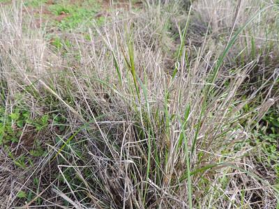 Purple Needlegrass (Nassella pulchra) POACEAE
