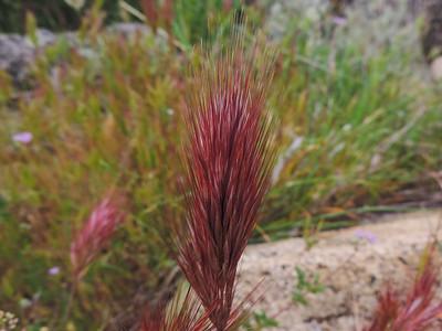 Red Brome (Bromus madritensis) POACEAE