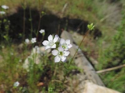 Chaparral Gilia (Gilia angelensis)