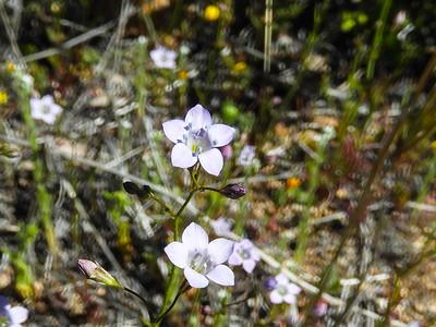 Chaparral Gilia (Gilia angelensis) POLEMONIACEAE