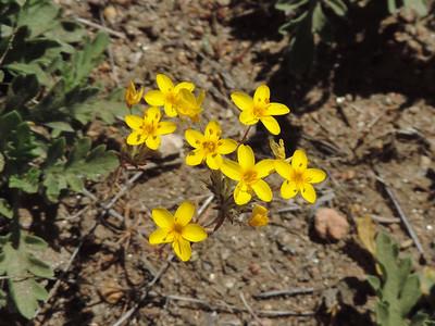 Yellow Stars (Leptosiphon parviflorus)