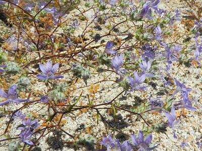 Desert Wooly Star (Eriastrum eremicum) POLEMONIACEAE