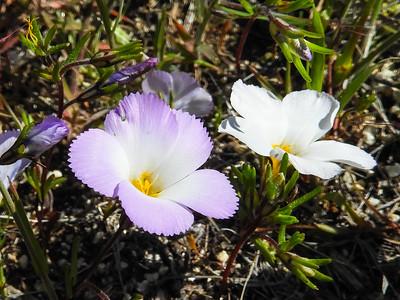 Ground Pink (Linanthus dianthiflorus) POLEMONIACEAE