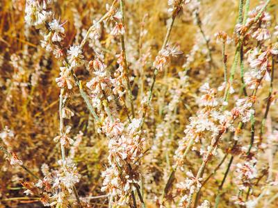 Foothill Buckwheat (Eriogonum wrightii var. membranaceum) POLYGONACEAE