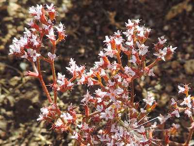 Peninsular spineflower (Chorizanthe leptotheca) POLYGONACEAE