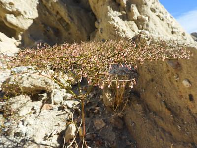 Thomas Buckwheat (Eriogonum thomasii) POLYGONACEAE