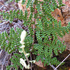 Coville's Lip Fern (Cheilanthes covillei)