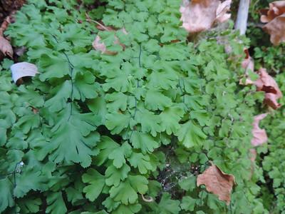 Maidenhair Fern (Adiantum capillus-veneris) PTERIDACEAE