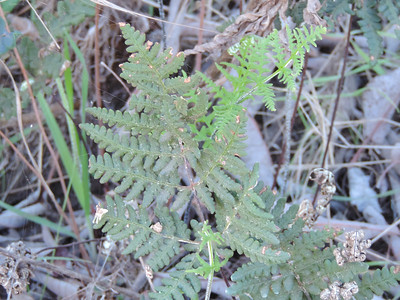 Newberry's Lip Fern (Myriopteris newberryi) PTERIDACEAE
