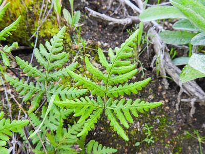 Silverback Fern (Pentagramma triangularis ssp. viscosa) PTERIDACEAE