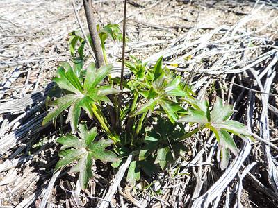 Parry's Larkspur  (Delphinium parryi ssp. parryi) RANUNCULACEAE