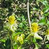 Ropevine Clematis (Clematis pauciflora) RANUNCULACEAE